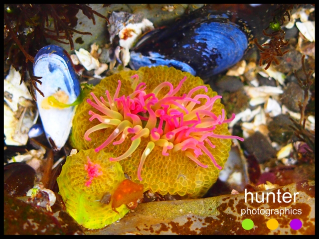 anemone, pender island, british columbia, canada